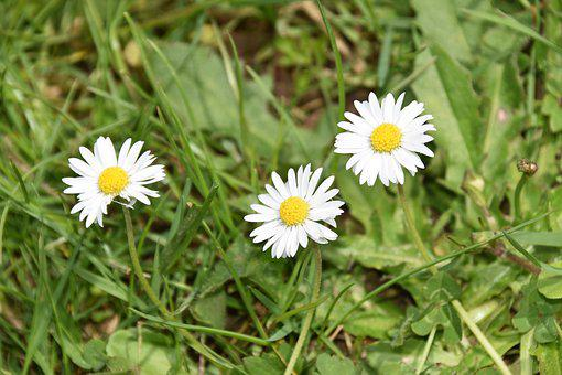 Flower, Daisies, Flower Natural