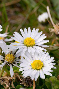 Flower, Daisy, White, Yellow, Spring