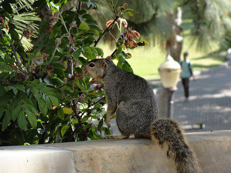 Ucla, A Squirrel, Looking For Food
