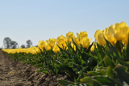 Tulips, Yellow, Dirksland, Spring