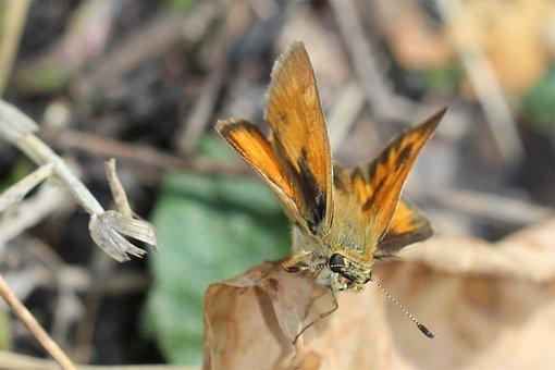 Orange Moth, Moth, Bug, Butterfly