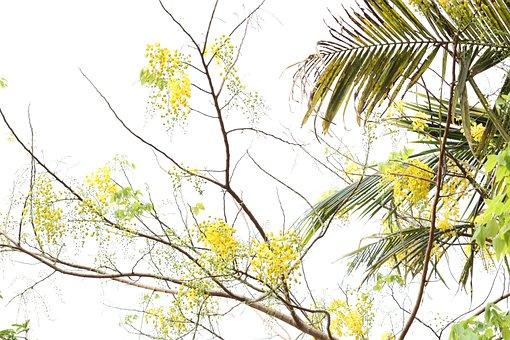 Kanikonna, Kerala, Flower, Yellow, Tree, Sky, Outdoor