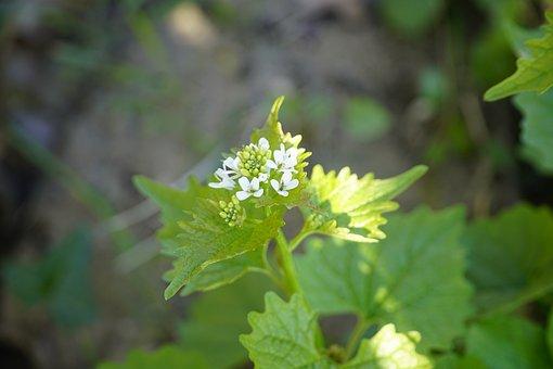 Garlic Root, Alliaria, Herbs, Flowers, White, April