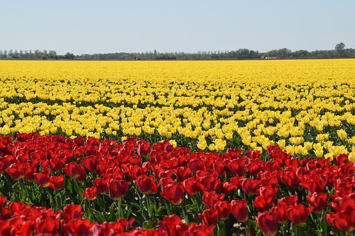 Dirksland, Tulips, Red, Yellow, Spring