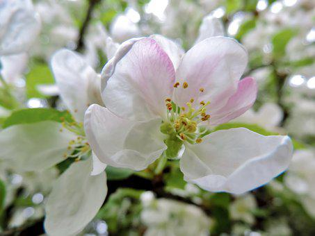Apple Blossom, Blossom, Bloom