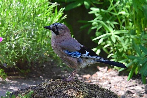 Jay, Raven Bird, Songbird