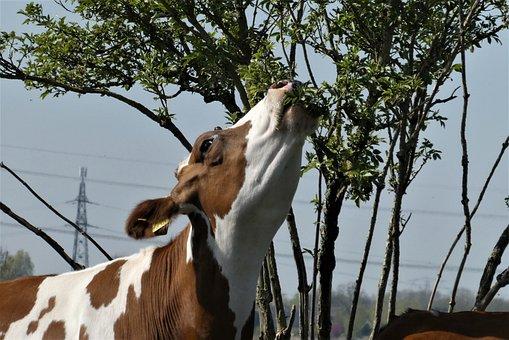 Cow, Food, Leaves, Tree, Head, Farm, Cattle, Herkauwer