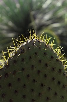 Dry Weather, Cactus, Thorny, Thorns, Plant, Mexico
