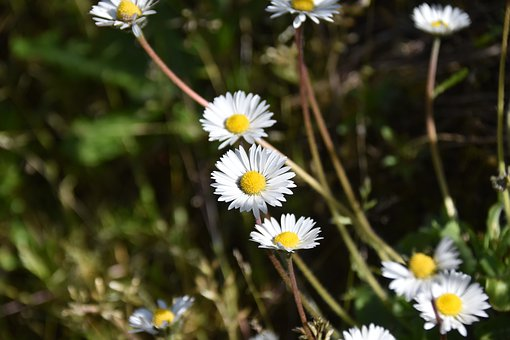 Flower, Daisies, Natural Flowers