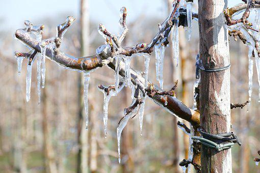 Frozen, Blossom, Cold, Frost, Spring, Apple Tree