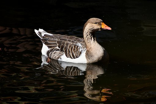 Goose, Bird, Animal, Geese, Anser, Poultry, Nature