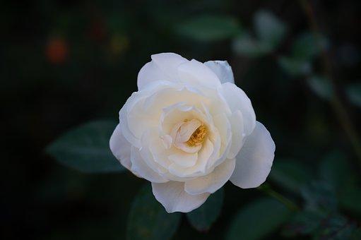 Rose, White, Bloom, Flower, Nature, Stamens, Pollen