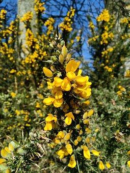 Ulex Europaeus, Gorse, Bush, Wild Plant, Yellow Flower