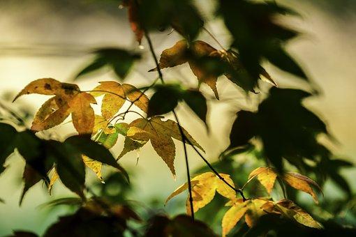 Red Maple, Maple, Autumn Maple, Lake