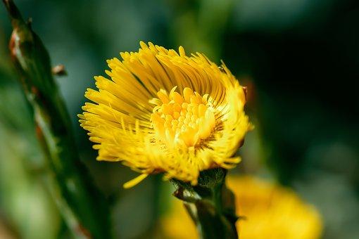 Tussilago Farfara, Medicinal Plant, Healthy, Bio