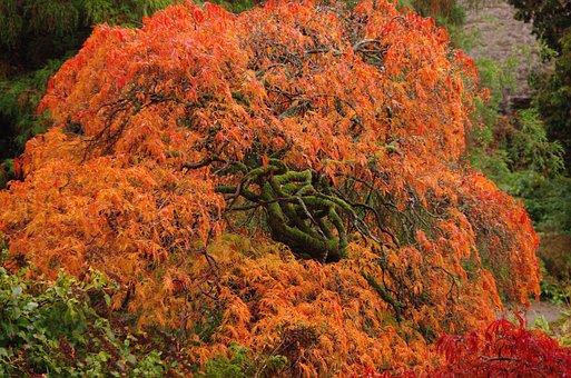 Red Tree, Tree, Nature, Garden, Lake District, Uk