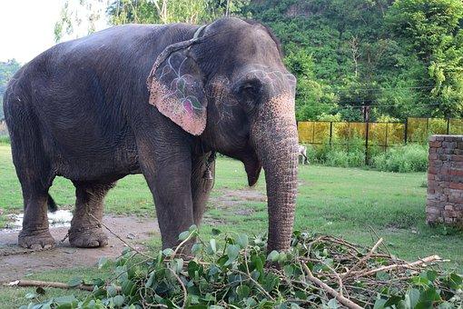 Elephant, Domestic, India, Nature, Mammal, Animal