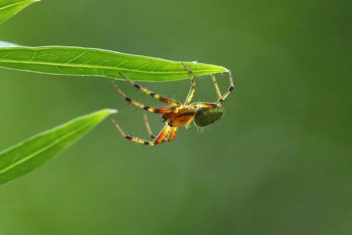 Spider, Cucumber Spider, Green, Leaves