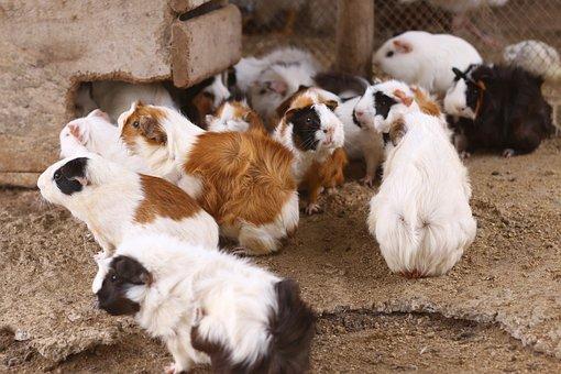 Hamsters, Mico, Mono, Zoo, Amazonia