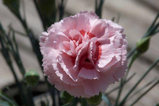 Dianthus, Pink, Carnation, Bloom, Nature, Blossom
