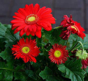 Daisies, Red, Gerbera, Blossoms, Colorful, Flowers