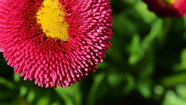 Flower, Blossom, Bloom, Tausendschön, Bellis Prennis
