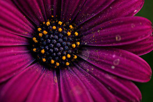 Cape Marguerite, Dimorphotheca Ecklonis, Flower, Violet