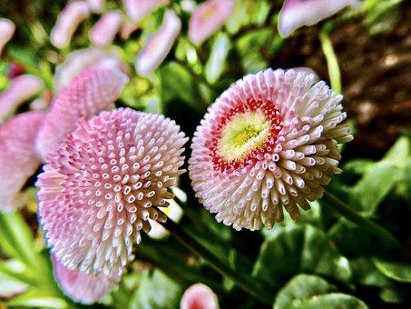 Bellis, Daisy, Tausendschön, Composites, Flowers
