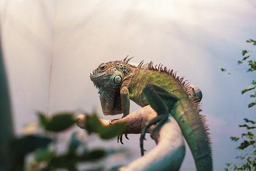 Iguana, Wildlife, Lizard, Nature, Animal
