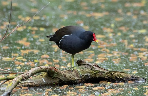 Moorhen, Lake, Branch, Water, Black Bird, Water Fowl
