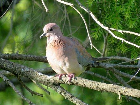 Bird, Dove, Pigeon, Bird On Branch, Perched, Birdlife