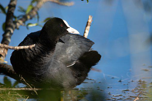 Coot, Animal World, Water, Bird, Lake, Water Bird