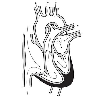 Heart, Blood Flow, Arteries, Veins, Blood Circulation