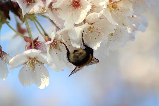 Hummel, Cherry Blossom, Spring, Blossom