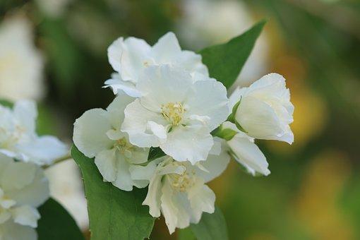 Flower, White, Shrub, Nature, Garden
