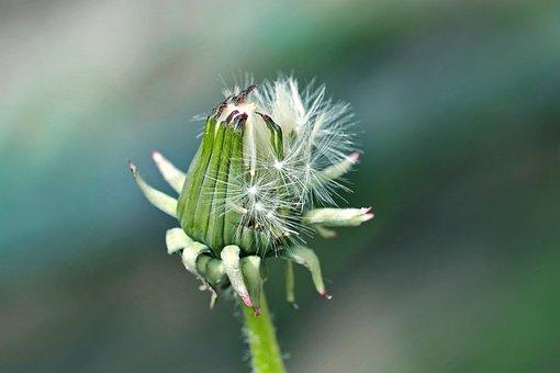 Hatching Dandelion Flower, Bloom, Spring, Fulfillment
