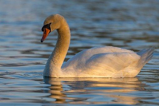 Swan, Morning Light