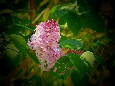 Lilac, Spring, Flowers, Bloom, Nature, Flower, Flora
