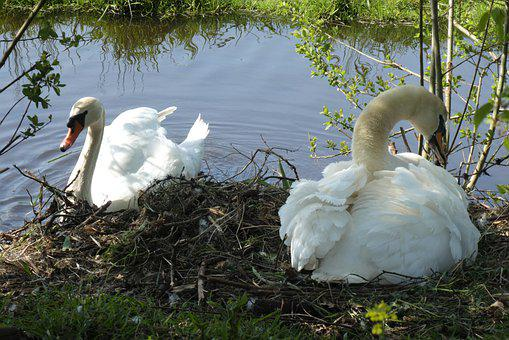 Swan, Nest, Swans, Zwanenpaar, Hatch, Spring, Waterfowl