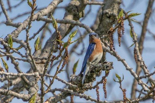 Northern Bluebird, Bird, Blue, Nature, Wildlife