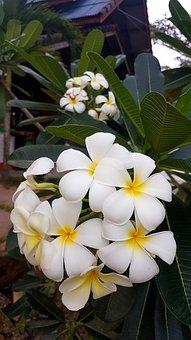 Frangipani, Flowers, Thailand, Asia, Fragrance
