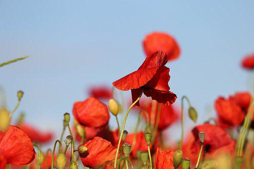 Red Poppies In Wind, Flowers, Blue Sky