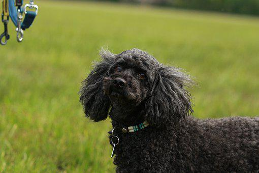 Dog, Poodle, Pet, Cute, Small, Gassi