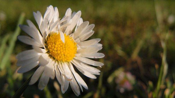 Daisy, Nature, Sun, Spring, Flower, White, Sunshine