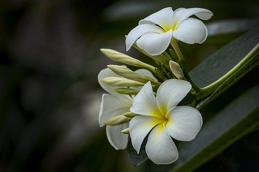 White Plumeria, Frangipani, Bouquet, Fragrant