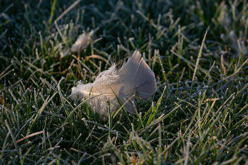 Single Feather, Frost, Grass