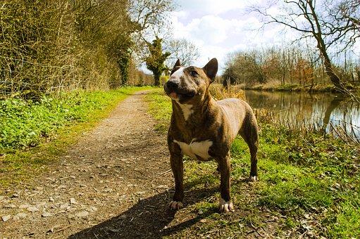 Bull Terrier, Dog, Purebred, Pedigree, Cute, Adorable