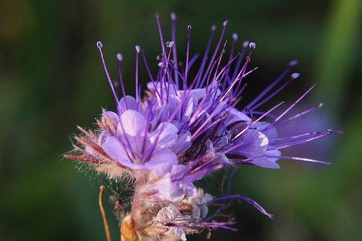 Close Up, Blossom, Bloom, Phacelia, Flower, Sun, Pink