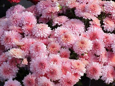 Chrysanthemum, Flower, Pink, Holiday, Memorial