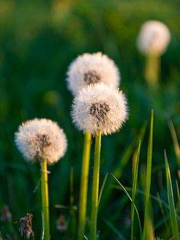 Dandelion, Evening Light, Spring